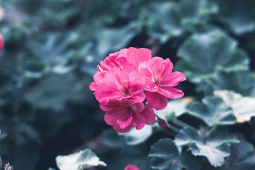 Flower, Flora, Pink, Spring, Nature