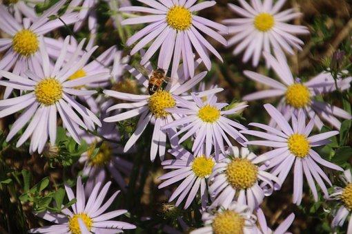 Wild Flower, Bee, Flower, Summer, Aster