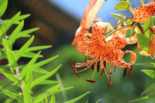 Lily, Tiger Lily, Orange, Summer, Nature, Flower