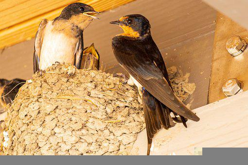 Barn Swallow, Swallow Nest, Swallow Feeding