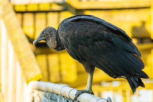 Black Vulture, Black Vulture Closeup, Vulture, Bird