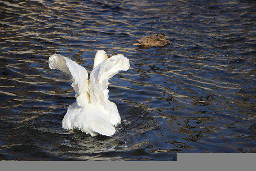 Bird, Water Bird, Swan, White Swan, Pond