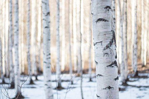 Finland, Forest, Winter, Birch, Woods