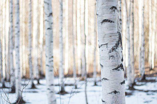 Finland, Forest, Winter, Birch, Woods, Timber, Woodland