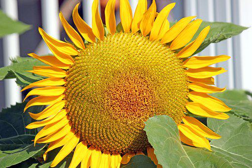 Sunflower, Plant, Bloom, Nature, Yellow