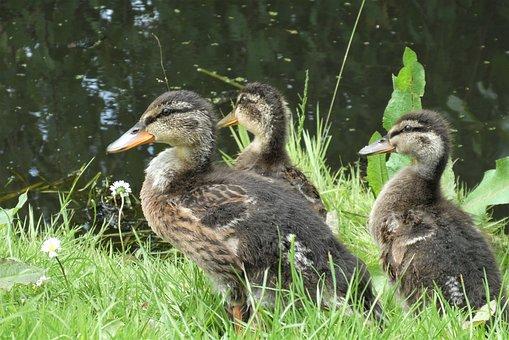 Young Ducks, Ducks, Chicks, Wild, Bird, Cute, Duck