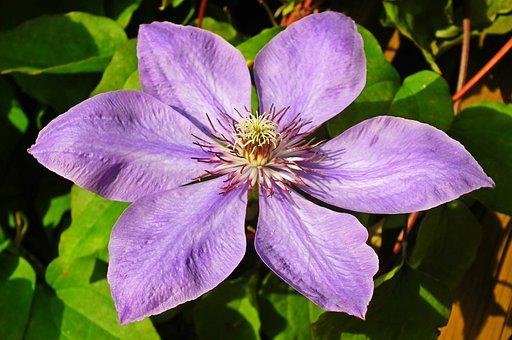 Clematis, Flower, Garden, The Petals, Creeper, Blooming