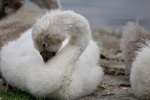 Swan, Bird, Cute, Lake, Water Bird, Nature, Fluffy