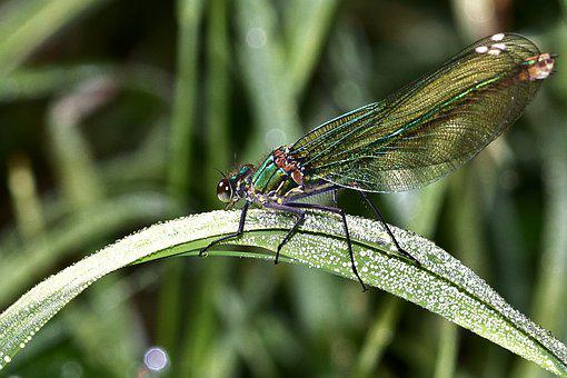 Dragonfly, Demoiselle, Insect, Wing