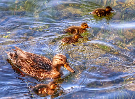 Duck, Animal, Chicks, Wild Duck, Lake, Bank, Food
