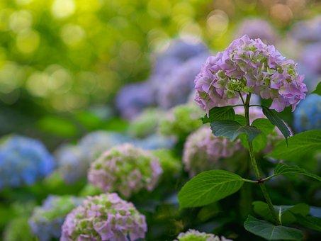 Hydrangeas, Hydrangea Flowers, Flower