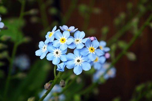 Nots, Flowers, Blue, Nature, Garden, Closeup, Spring