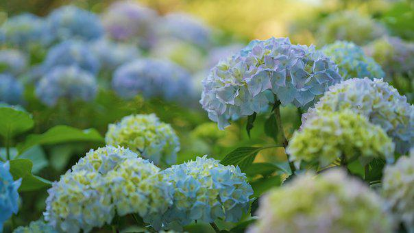 Hydrangeas, Hydrangea Flowers, Bush