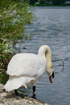 Swan, Bird, Lake, Water Bird, Nature, Plumage