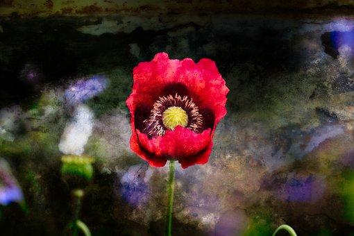 Poppy, Mood, Color, Atmosphere, Klatschmohn, Lighting