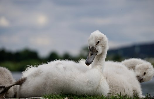Swan, Bird, Cute, Lake, Water Bird, Nature, Fluffy