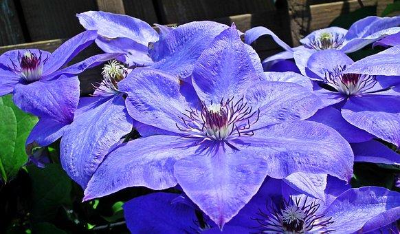 Clematis, Flowers, Plants, Decorative, The Petals