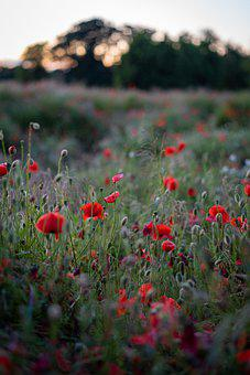 Poppies, Flowers, Field, Sunset