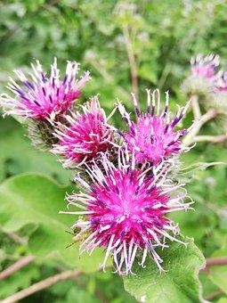Repah, Agrimony, Flowers, Burdock, Day