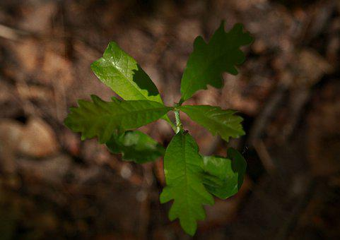 Oak, Rostock, Tree, Seedling, To Germinate, Grow Up
