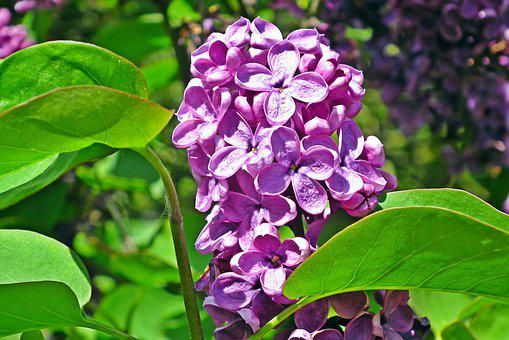 Lilac, Flowers, Spring, Nature, Garden