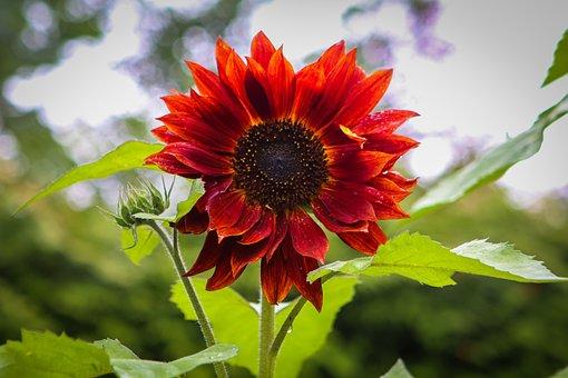 Sunflower, Red, Flower, Blossom, Bloom
