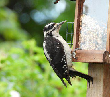 Downy, Woodpecker, Bird, Wildlife, Feeder, Eating