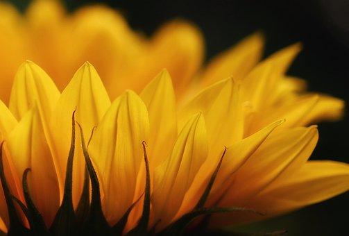 Sunflower, Blossom, Bloom, Flower
