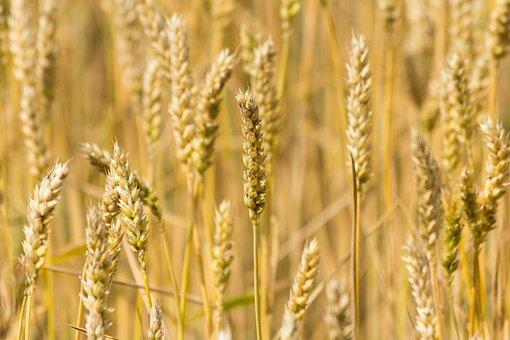 Wheat, Cereals, Grain, Field, Agriculture, Cornfield