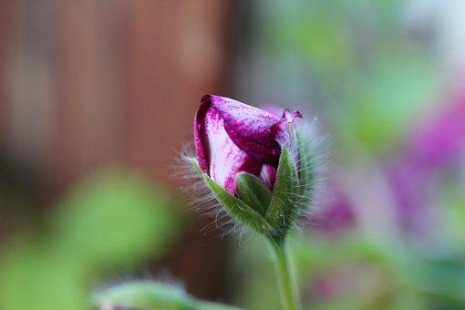 Bud, Geranium, Flower, Plant, Nature