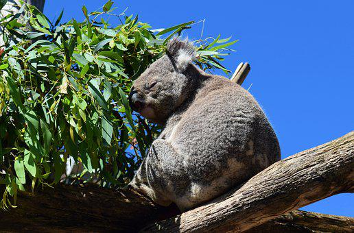 Koala, Australia, Mammals, Grey, Furs, Furry