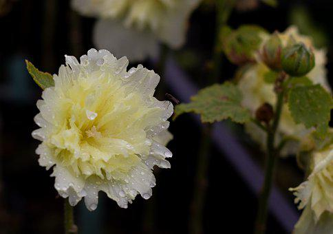 Alcea Rosea Pleniflora, Hollyhock, Light Yellow, Double