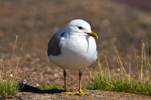 Seagull, Rock, Grass, Sea, Horizontal
