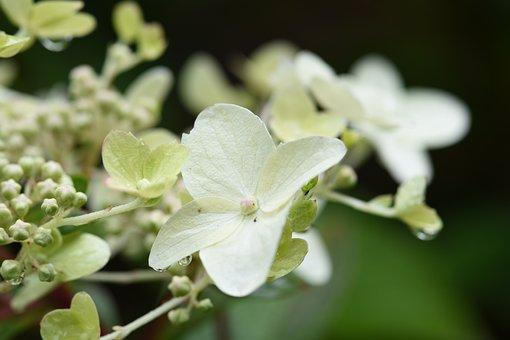 White, Hydrangea, Flower, Bloom, Flora