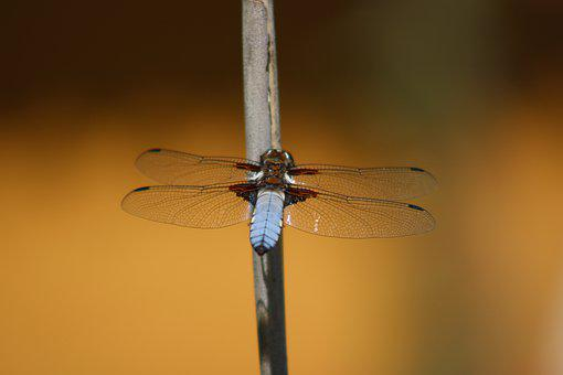 Dragonfly, Pond, Nature, Blue, Water, Insect