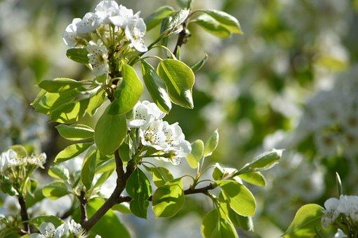 Pear Blossom, Spring, Summer, Pear