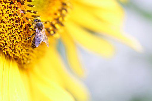 Bee, Sunflower, Pollen, Yellow, Summer