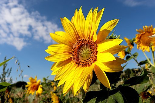 Sunflower, Plants, Fields, Agriculture, Seeds
