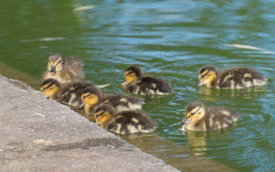 Check Out The Chicks, Reviews, Birds, Small, Swimming