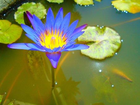 Flower, Close-Up, Water, Violet, Leaf