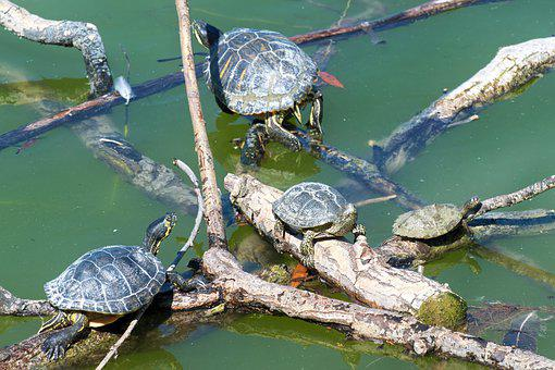 The Turtles, The Shells, Care, Wood Trunks, Water, Lake