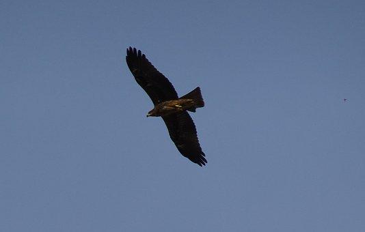 Bird, Avian, Kite, Black Kite, Soaring, Sky