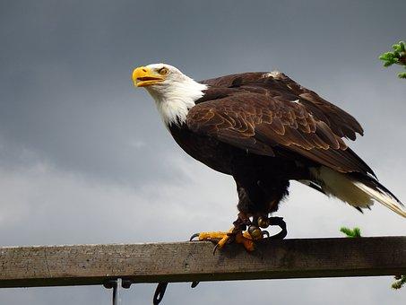 Adler, White Tailed Eagle, Raptor, Bald Eagle, Bird