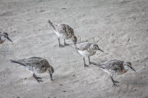 Sandpiper, Birds, Animal, Sand, Beach, Search, Nature