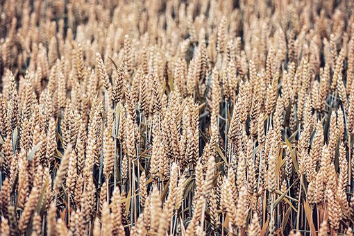 Cereals, Field, Nature, Agriculture