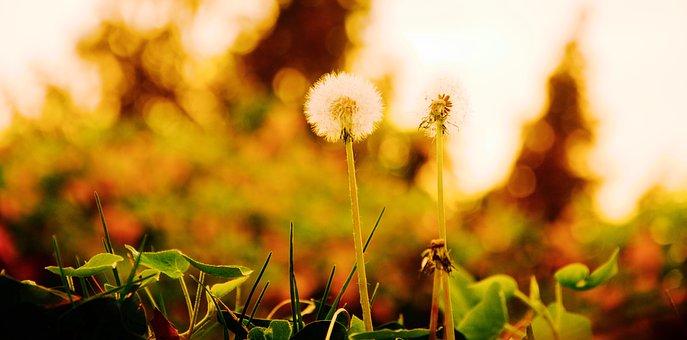 Dandelion, Spring, Nature, Pointed Flower, Macro