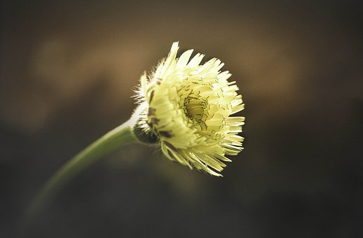 Dandelion, Flower, Yellow, Spring, Colorful, Nature