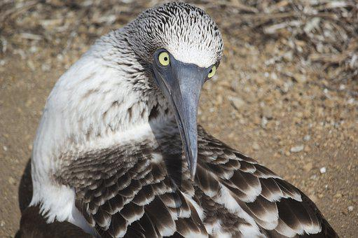 Blue, Booby, Ecuador, Eyes, Stare, Wildlife, Nature