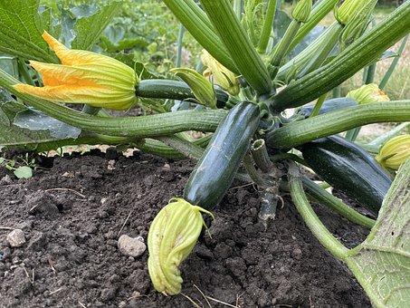 Zucchini, Garden, Vegetable Garden, Food, Harvest