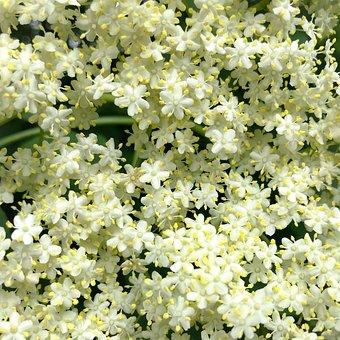 Elder, Elderflower, Edible, Holler, Holder Bush, Cure